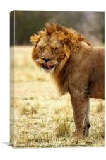 Mmmm...nice! Lion After Copulation, Canvas Print