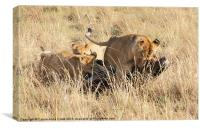 Lions Moving a Wildebeest Kill, Canvas Print