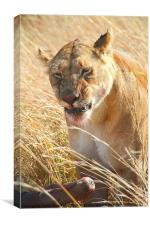 Lioness With Wilderbeest Kill, Canvas Print