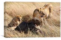 Lions with Wildebeest Kill, Canvas Print