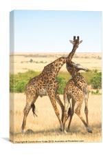 Maasai Giraffe Males Necking, Canvas Print