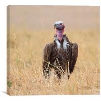 Nubian Vulture, Canvas Print