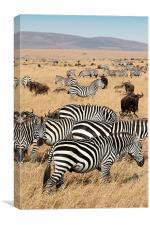 Zebra & Wildebeest Migration, Canvas Print