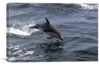 Peales Dolphin Porpoising, Canvas Print