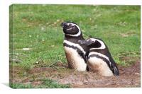 Magellanic Penguin Pair in Their Nesting Burrow, Canvas Print