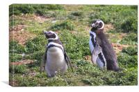 Magellanic Penguin Near Their Nesting Burrow, Canvas Print