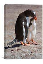 Gentoo Penguin Feeding Chick, Canvas Print