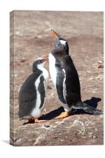 Gentoo Penguin Chick Begging for Food, Canvas Print
