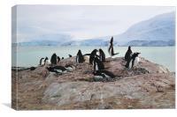 Gentoo Penguin Rookery Antarctica, Canvas Print