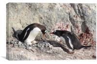 Gentoo Penguins Pair Bonding, Canvas Print