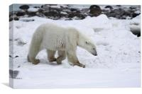 Prowling Polar Bear, Canvas Print