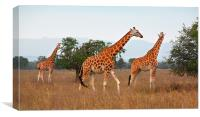 Rothschilds Giraffes Feeding, Lake nakuru, Kenya, Canvas Print