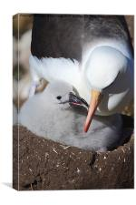 Nesting Black-browed Albatross with Chick, Canvas Print
