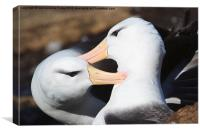 Pair bonding Black-browed Albatross, Canvas Print