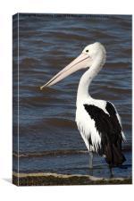 Australian Pelican, Canvas Print