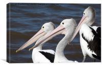 Australian Pelicans, Canvas Print