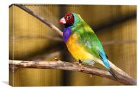 Gouldian Finch, Canvas Print