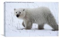 Baby Polar Bear, Canvas Print