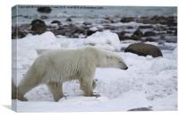 Stiding Out, Large Male Polar Bear, Canvas Print