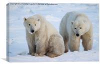 Polar Bears, Churchill, Canada, Canvas Print