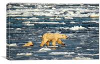 Polar Bears in Hudson Bay, Canada, Canvas Print
