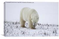 Large Male Polar Bear on the Tundra , Canvas Print