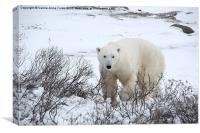 Polar Bear, Churchill, Canada, Canvas Print