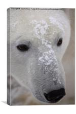 Polar Bear Portrait, Canvas Print