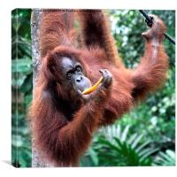 Just Hanging Around, Young Female Orangutan, Born, Canvas Print
