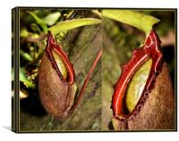 Pitcher Plant Composite, Canvas Print