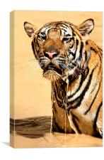 Dripping Tiger, Kanchanaburi, Thailand , Canvas Print