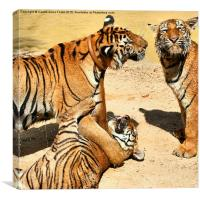 Tigers at Water Play, Canvas Print