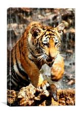 Bengal Tiger Cub Enjoying Water Play , Canvas Print