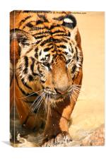 Tiger Coming Out Of The Water, Canvas Print