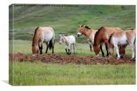 Przewalski's Horses, Mongolia, Canvas Print