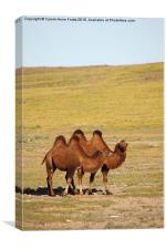 Camels, Middle Gobi Mongolia, Canvas Print