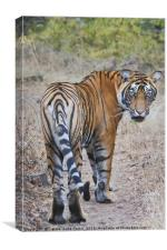Young Male Tiger, Canvas Print