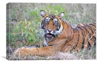 Young Bengal Tiger, Canvas Print