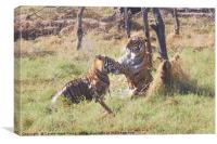 Bengal Tigers Sparring, Canvas Print