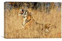 Sub-Adult Male Bengal Tiger, Canvas Print