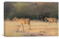 Female Nilgais, Canvas Print