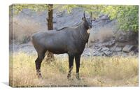 The Nilgai is the largest Asian antelope, Canvas Print