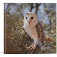 Barn Owl in the Bush, Canvas Print