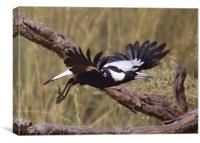 Australian Magpie Taking Off, Canvas Print