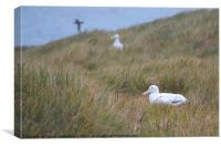 Wandering Albatross Nesting, Canvas Print