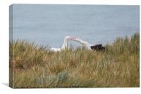 Wandering Albatross Pair Bonding, Canvas Print