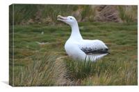 Wandering Albatross Calling, Canvas Print