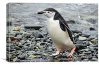Chinstrap Penguin, Canvas Print