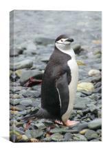 Chinstrap Penguin, Canvas Print