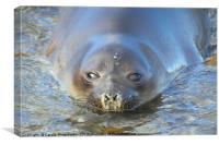 Antarctic Fur Seal, Canvas Print
